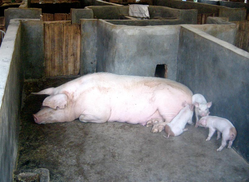The Pig Factory – 2006